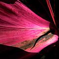 Beautiful Magenta Leaf by Bob Slitzan