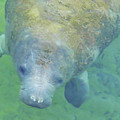 Beautiful Manatee by D Hackett