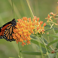 Beautiful Monarch by Susan Rissi Tregoning