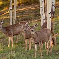 Beautiful Mule Deer Herd by Steve Krull