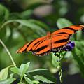 Beautiful Orange Oak Tiger Butterfly In Nature by DejaVu Designs