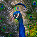 Beautiful Peacock by Harry Spitz