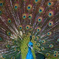 Beautiful Peacock by Tina Meador