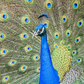 Beautiful Peacock Walking Around by Chon Kit Leong
