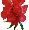 Beautiful Peony Flower. by Alexander Vinogradov
