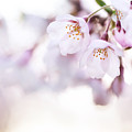 Beautiful Pink Cherry Blossom by Oleksiy Maksymenko