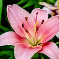 Beautiful Pink Lily by Cynthia Woods