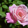 Beautiful Pink Rose by DejaVu Designs