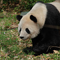 Beautiful Profile Of A Giant Panda Bear Ambling Along by DejaVu Designs