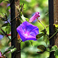 Beautiful Railroad Vine Flower II  by Mariola Bitner