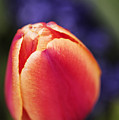 Beautiful Red And Orange Colored Tulip  by Vishwanath Bhat