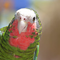 Beautiful Red Feathers On The Throat Of A Green Conure Bird by DejaVu Designs