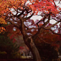 Beautiful Red Japanese Maple Tree In A Garden by Awen Fine Art Prints