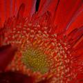 Beautiful Red by Miranda Strapason