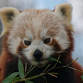 Beautiful Red Panda by MSVRVisual Rawshutterbug