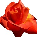Beautiful Red Rose Photograph Vector by Taiche Acrylic Art