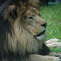 Beautiful Resting Lion In Tall Green Grass by DejaVu Designs