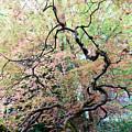 Beautiful Japanese Garden,butchart Gardens,victoria,canada 1. by Andrew Kim
