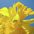 Beautiful Spring Daffodil Bouquet Flowers Blue Sky Art Prints Baslee Troutman by Baslee Troutman