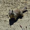 Beautiful Squirrel Standing In A Sandy Area In California by DejaVu Designs