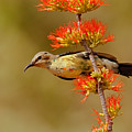 Beautiful Sunbird, Young Male by Aivar Mikko