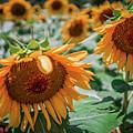 Beautiful Sunflower Field In South Carolina by Alex Grichenko