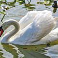 Beautiful Swan by Carol Groenen