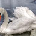 Beautiful Swans by Svetlana Sewell