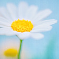 Beautiful Textured Background Of A Daisy Flower by Anna Om