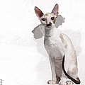 Beautiful Two-color Eyes Cornish Rex by Maria Astedt