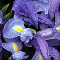 Beautiful Violet Colored Iris Flower With Rain Drops by Michael Ledray