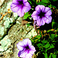 Beautiful Violets by Susie Weaver