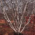 Beautiful White Birch by Bill Driscoll