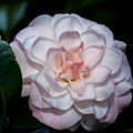 Beautiful White Camellia by Zina Stromberg