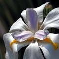 Beautiful White Day Lily by Richard Thomas