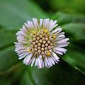 Beautiful White Flower by Argie Dante