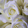 Beautiful White Roses by Garry Gay
