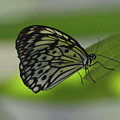 Beautiful White Tree Nymph Butterfly On  A Leaf by DejaVu Designs