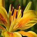 Beautiful Yellow Lily by Taiche Acrylic Art