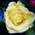Beautiful Yellow Rose by Maxwell Dziku