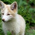 Beautiful Young Fox Portrait by Sam Rino