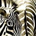 Beautiful Zebras by Caroline Reyes-Loughrey