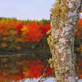 Beauty And The Birch - Nova Scotia by Kathleen Sartoris