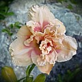 Beauty And The Boulder - Daylily by MTBobbins Photography