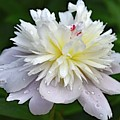 Beauty Can't Be Dampened - Festiva Maxima Double Peony by Cindy Treger