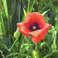 Beauty Of A Poppy  by Louloua Asgaraly
