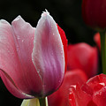 Beauty Of Spring Tulips 1 by Bob Christopher