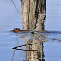 Beaver In Motion by David Arment