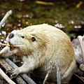 Beaver by Marilyn Hunt