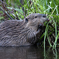 Beaver by Ronnie and Frances Howard